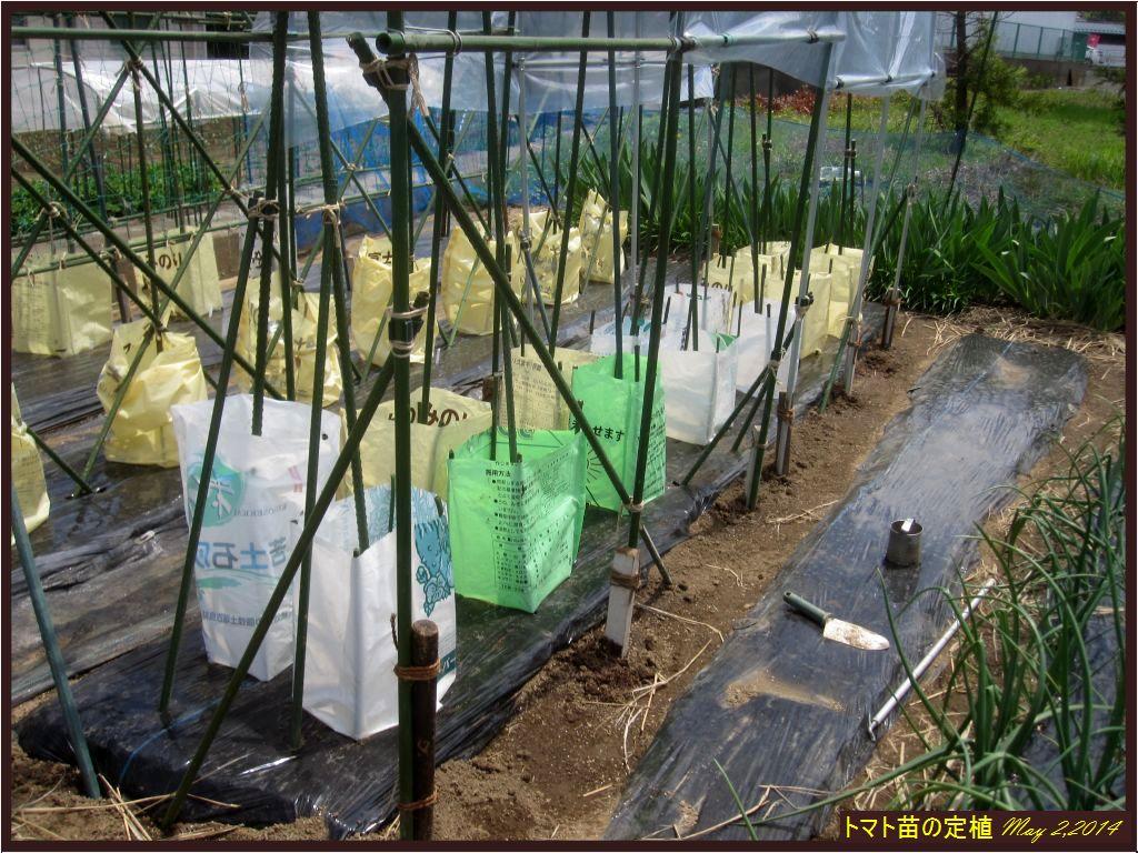 画像2(トマトの定植)