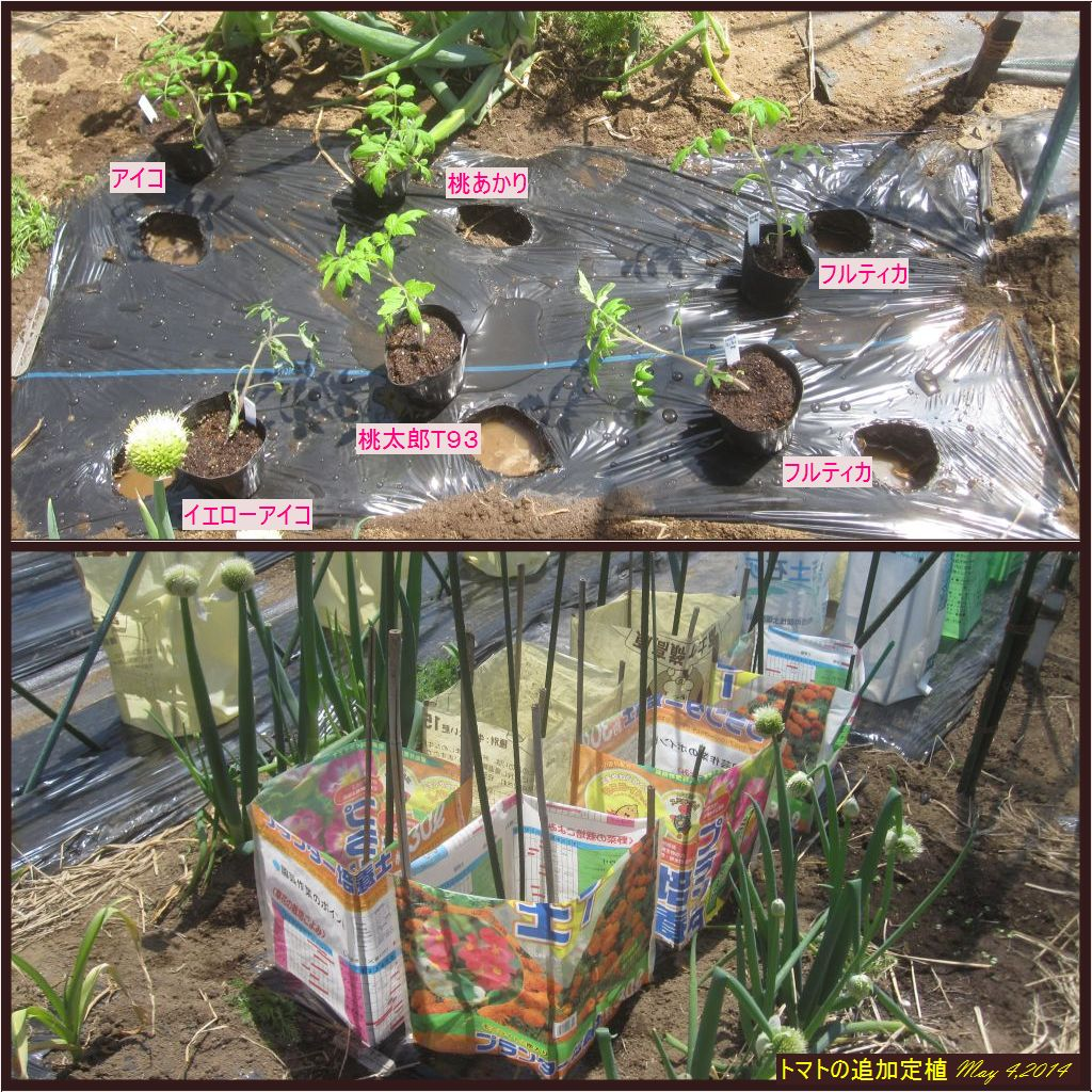 画像1(トマトの追加定植)