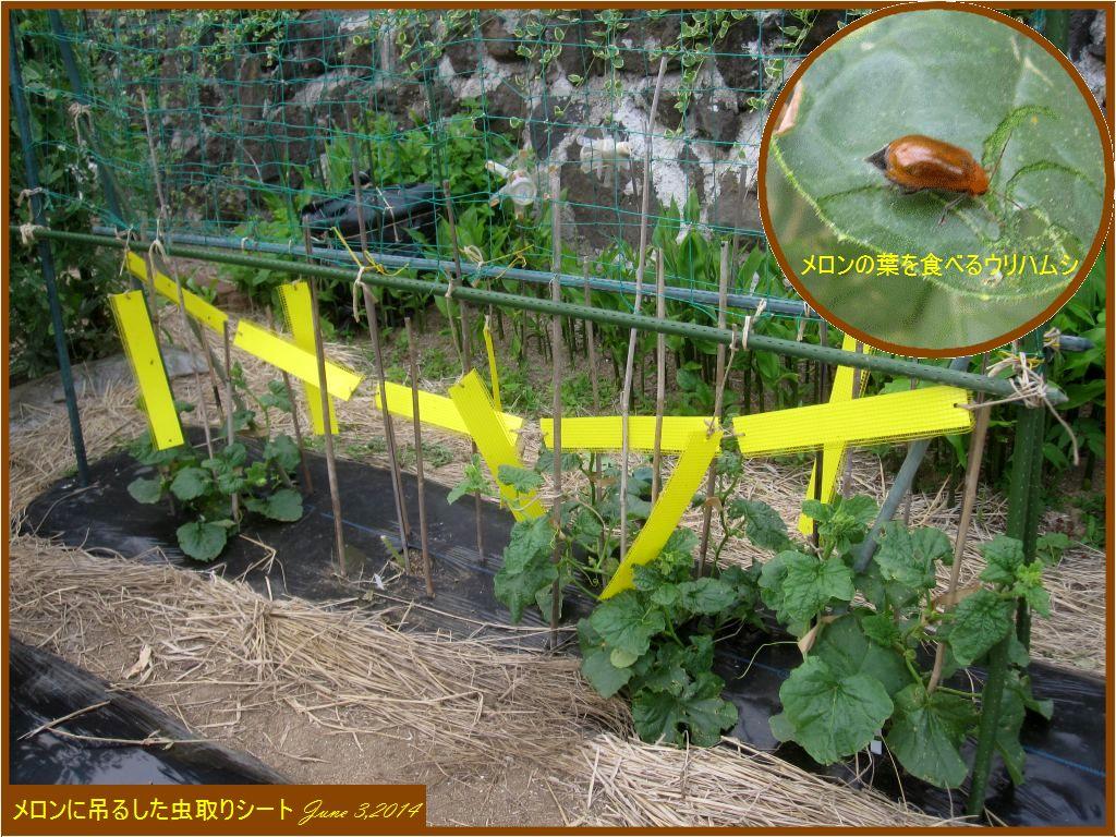 画像7(メロンの虫取りシート)