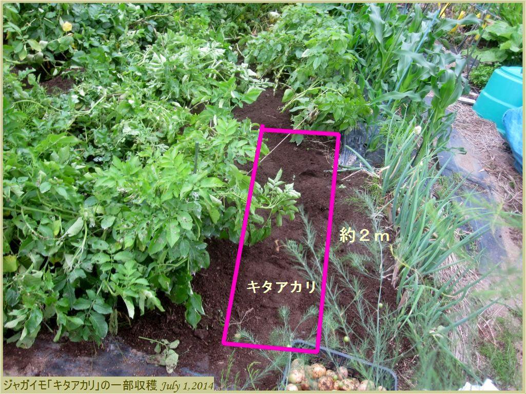 画像1(ジャガイモ「キタアカリ」の一部収穫)