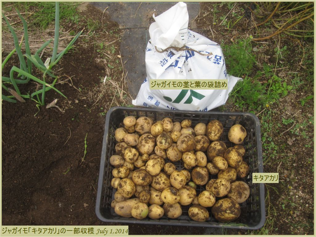 画像2(ジャガイモ「キタアカリ」の一部収穫)