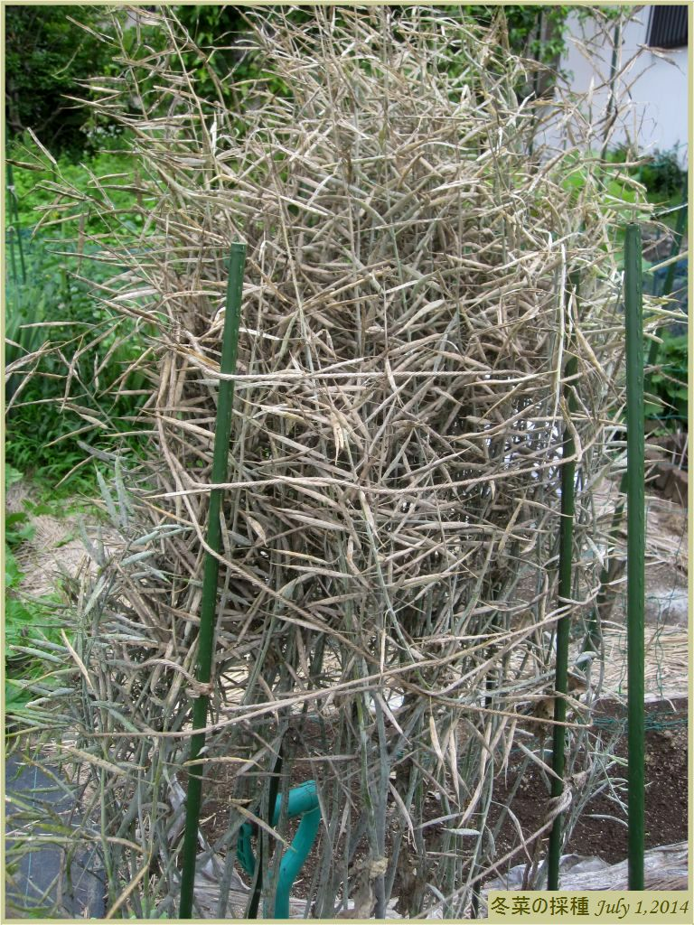 画像3(冬菜の採種)