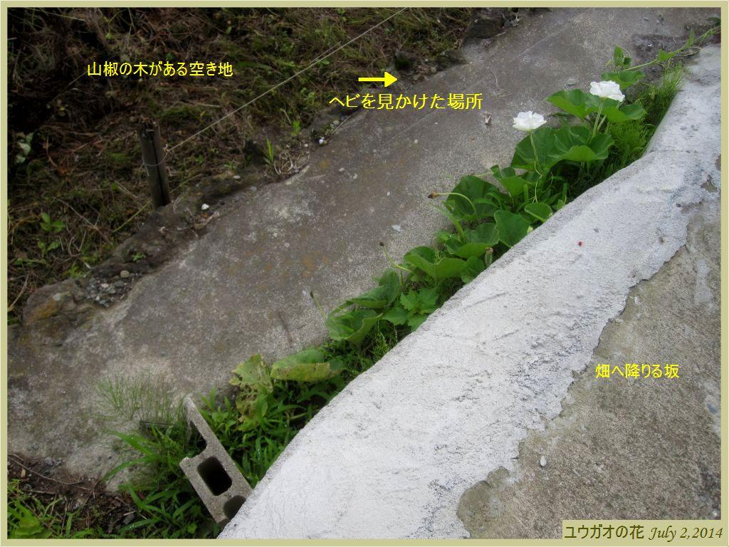 画像1(ユウガオの花)