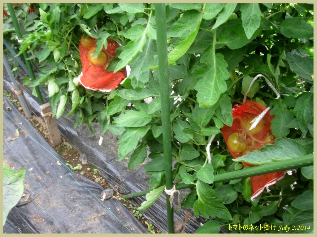 画像5(トマトのネット掛け)