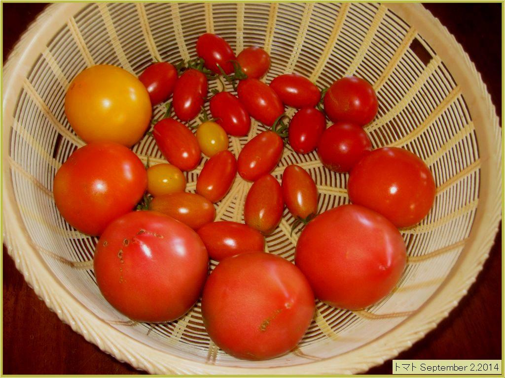 画像4(収穫したトマト)