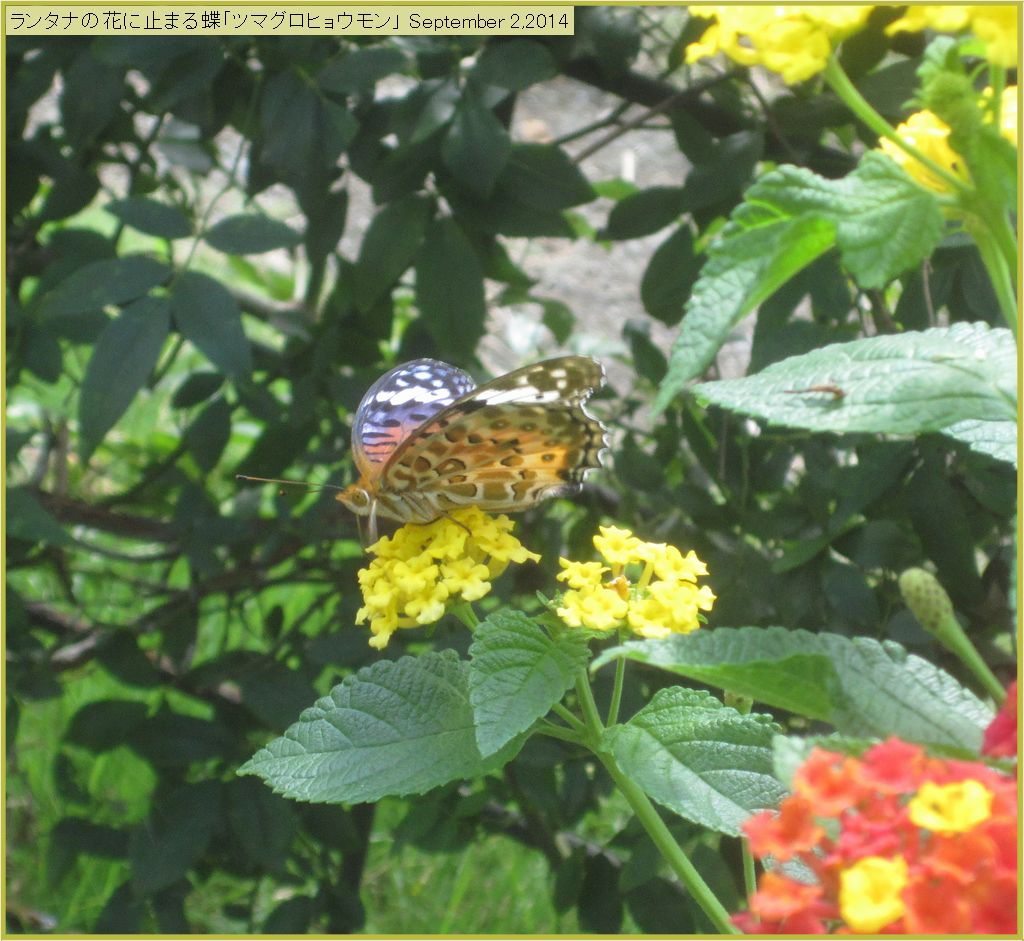 画像6(ランタナの花にとまる蝶)