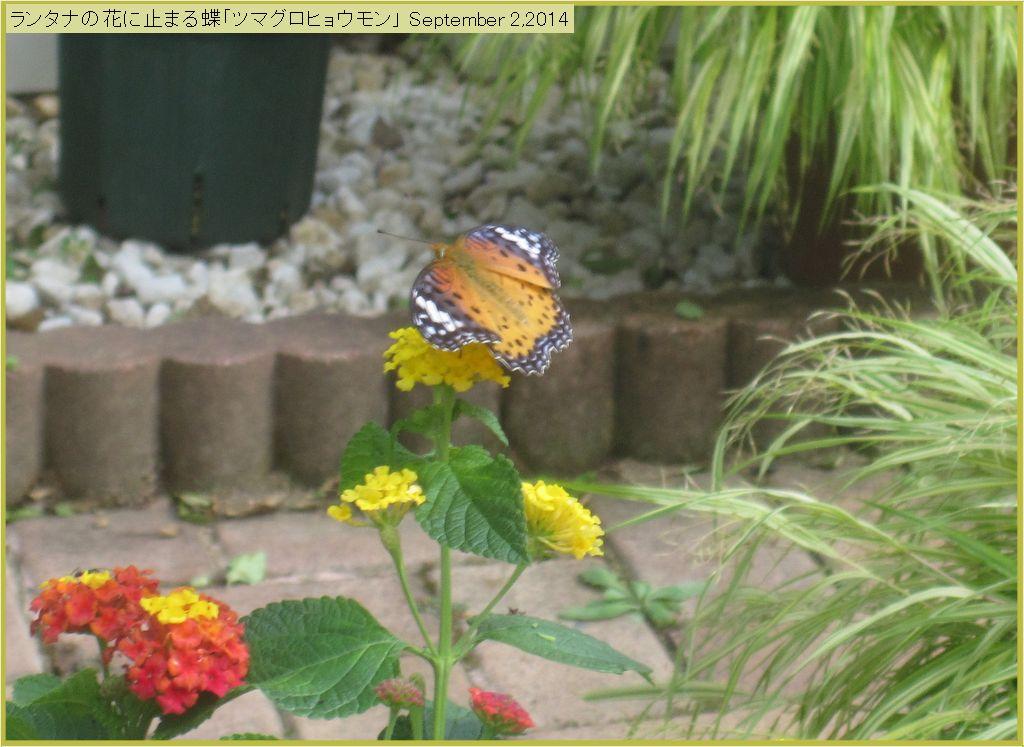 画像7(ランタナの花にとまる蝶)
