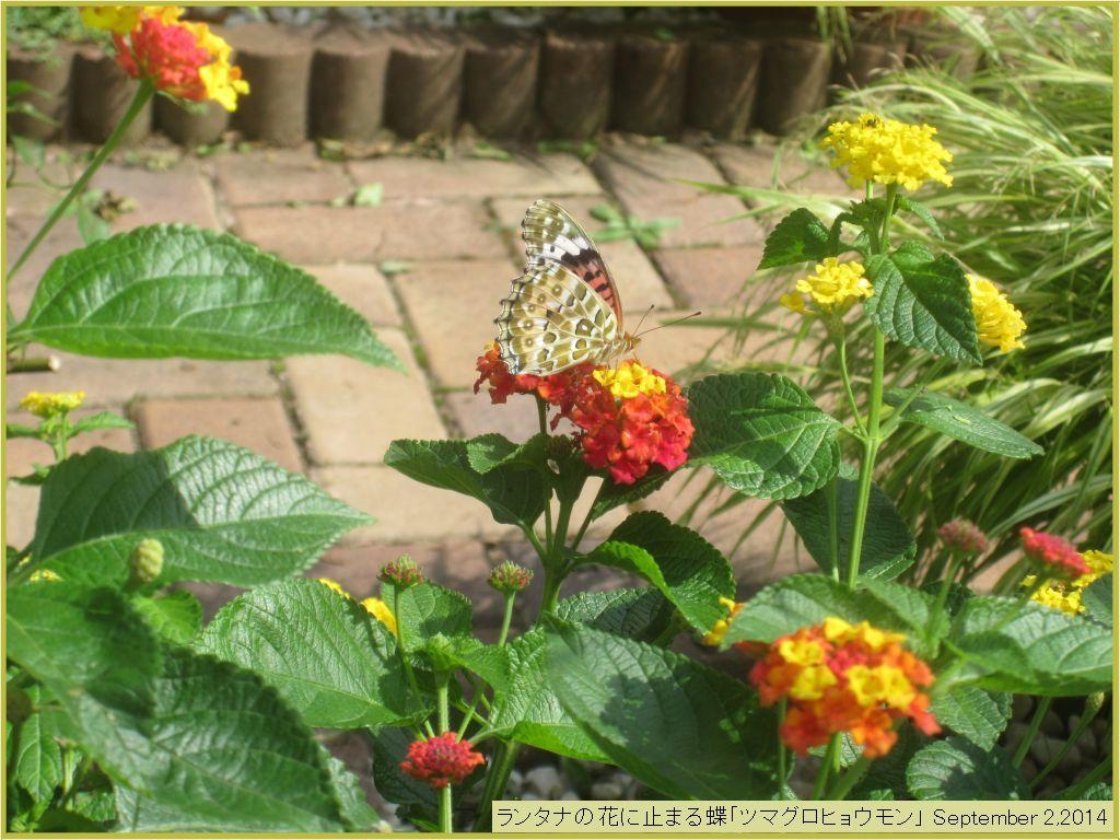 画像8(ランタナの花にとまる蝶)