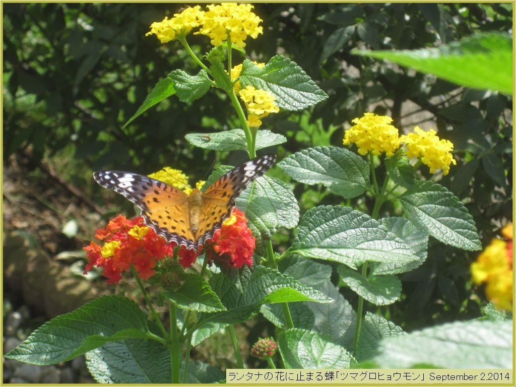 画像9(ランタナの花にとまる蝶)