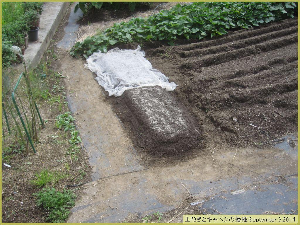 画像4(玉ねぎとキャベツの種蒔き)