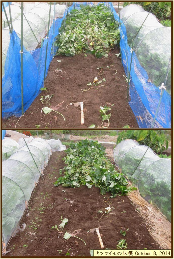 画像7(サツマイモの収穫)