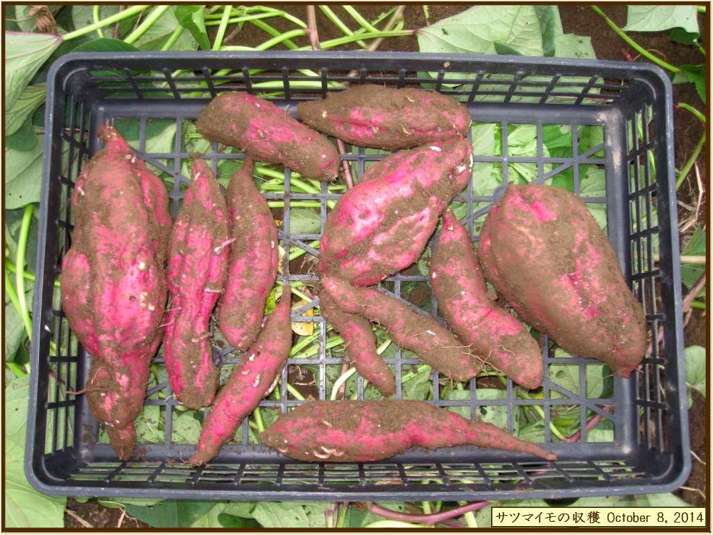 画像8(収穫したサツマイモ)