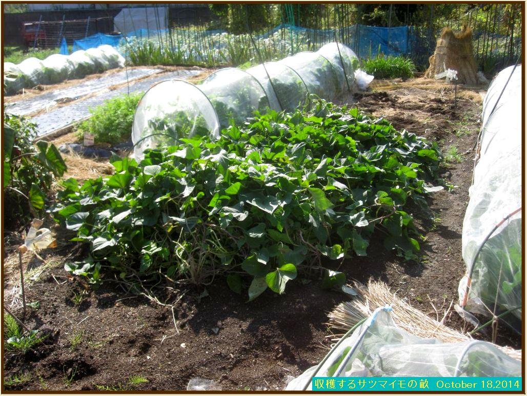 画像1(収穫するサツマイモの畝)