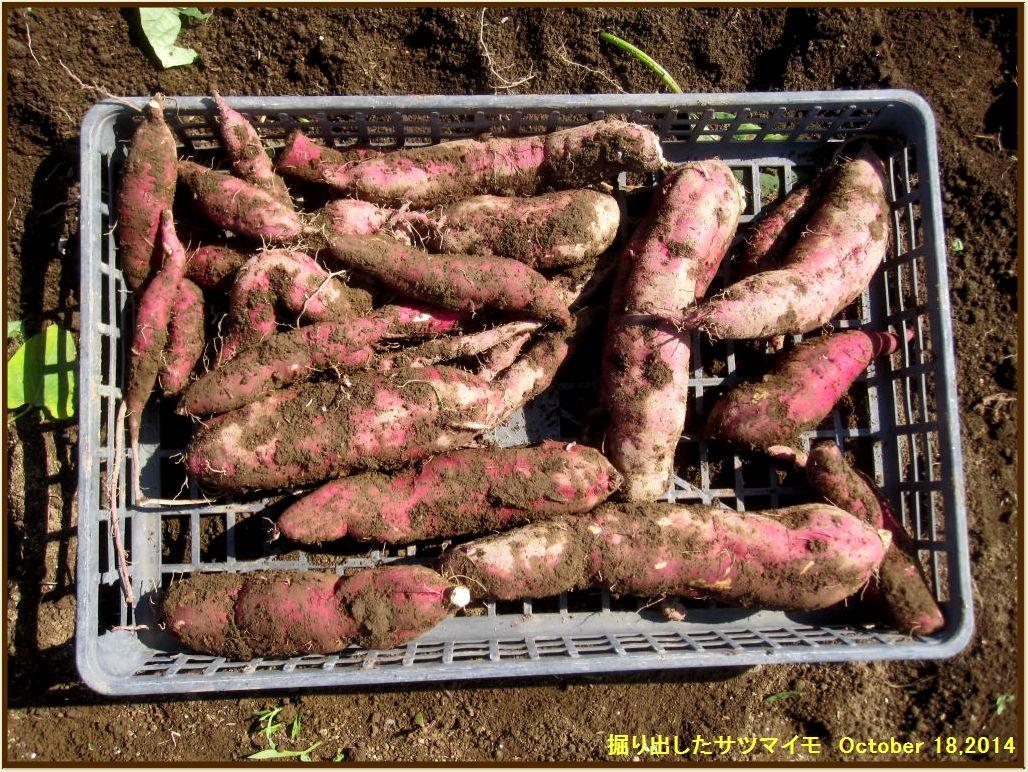画像4(掘り出したサツマイモ)