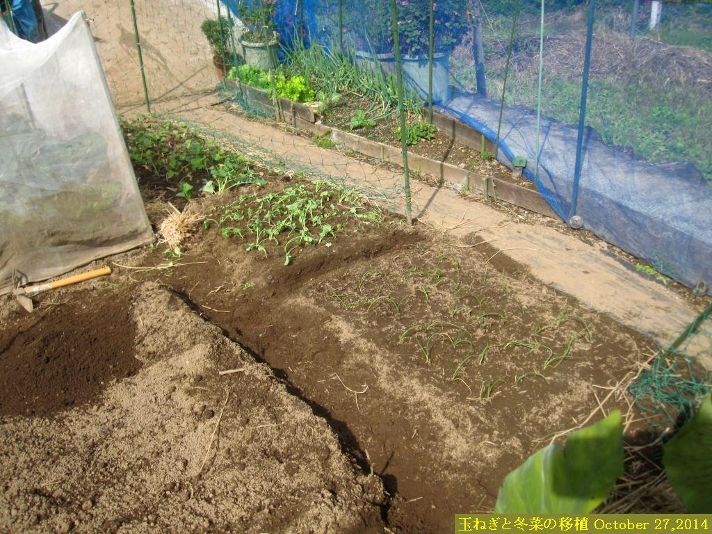 画像1(玉ねぎと冬菜の移植)