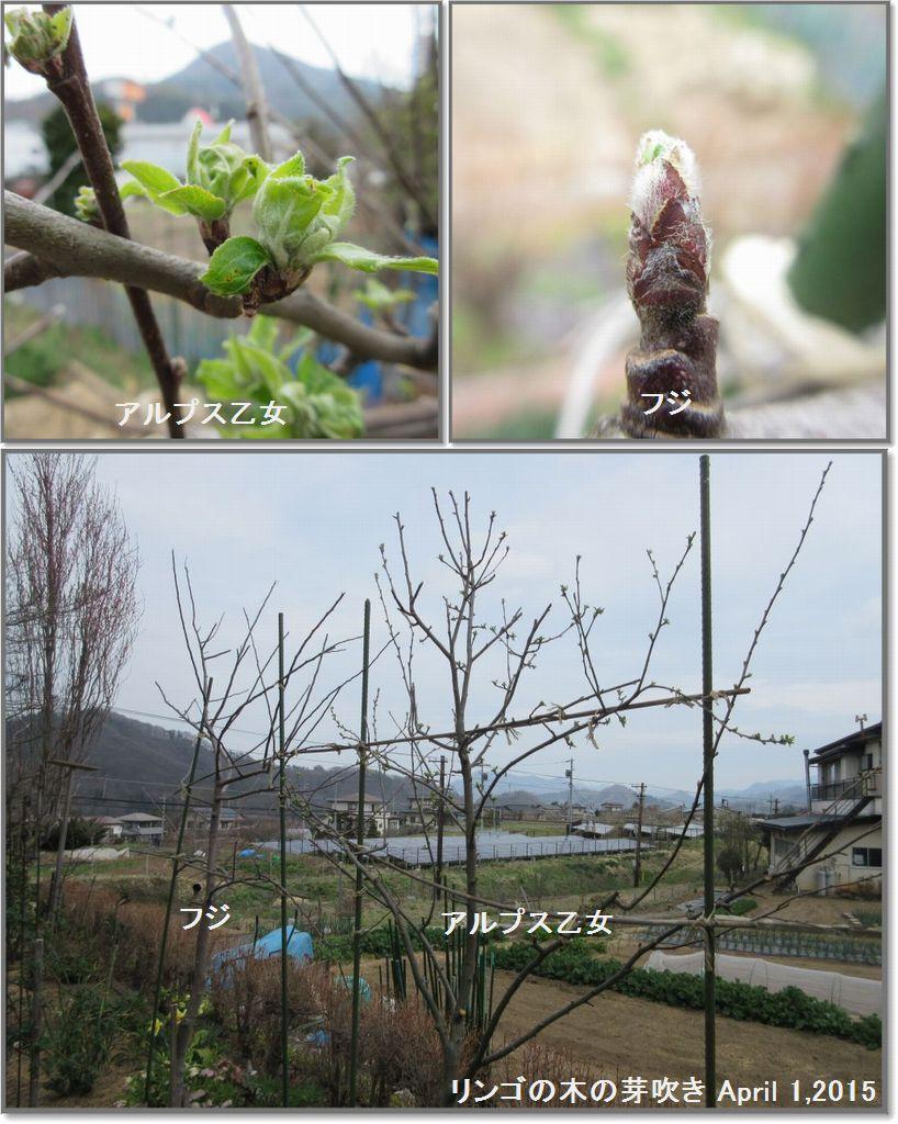 画像5(リンゴの木の芽吹き)