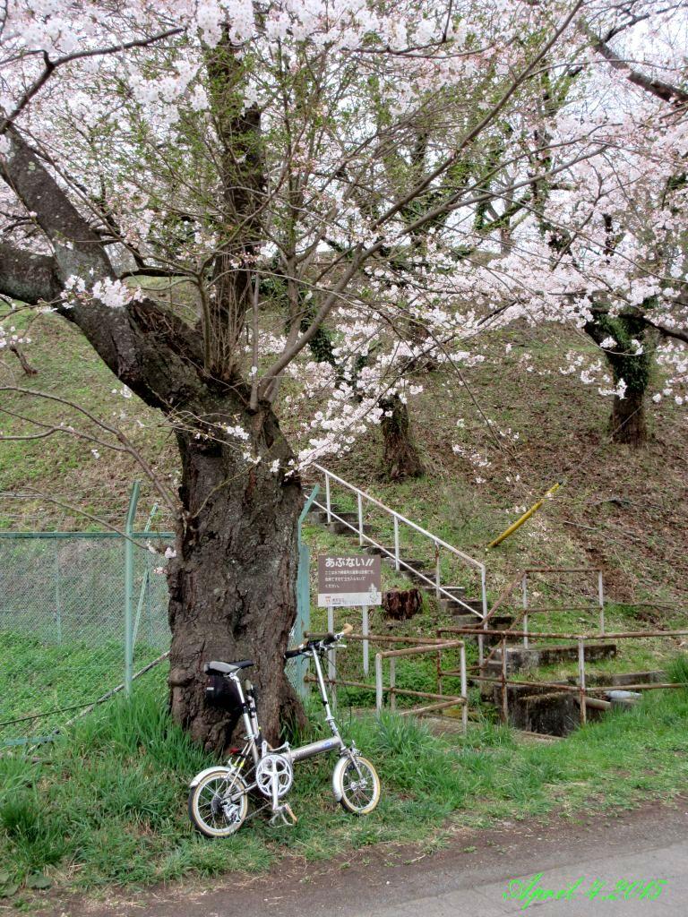 画像7(鹿留発電所の桜)