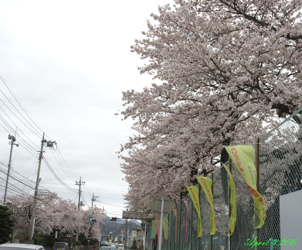 画像11(小学校の桜)