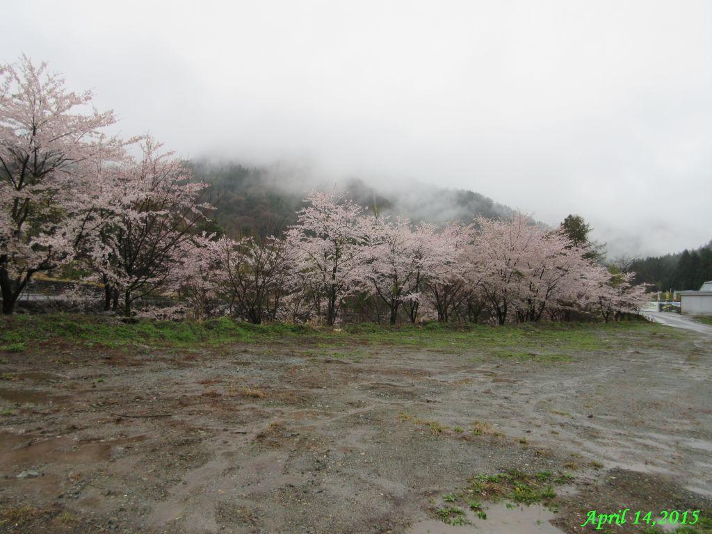 画像2(鹿留川の桜)