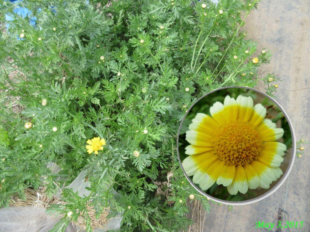 画像2(春菊の花)