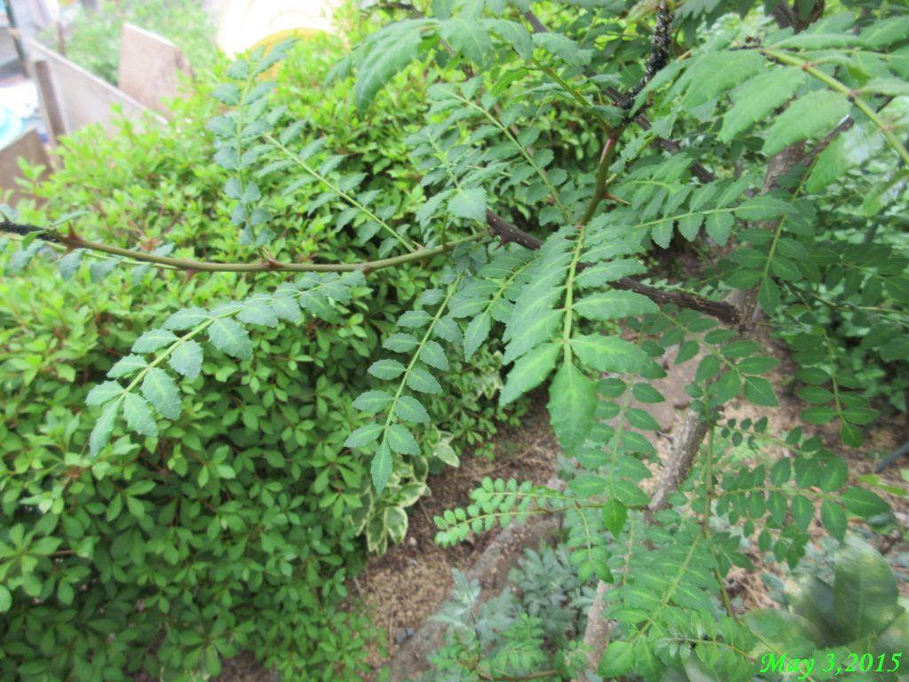 画像5(山椒の木)