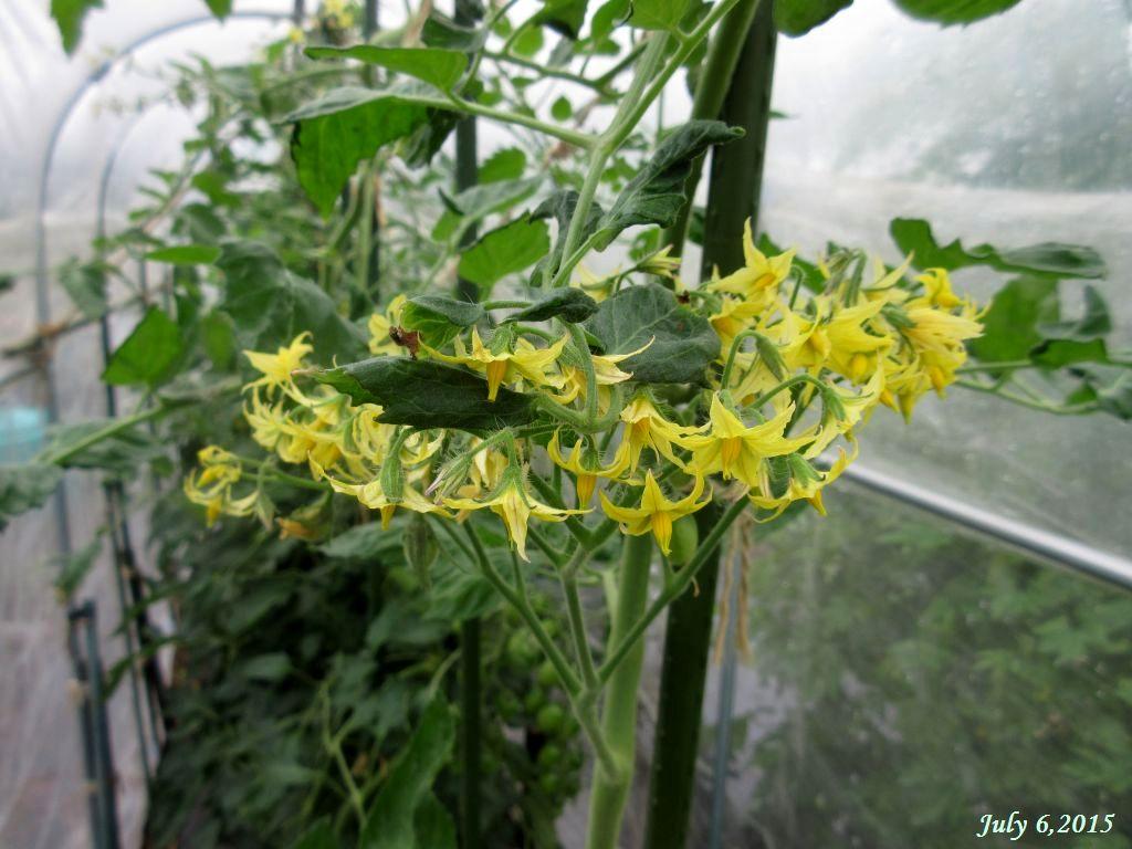 画像3(イエローアイコの花)