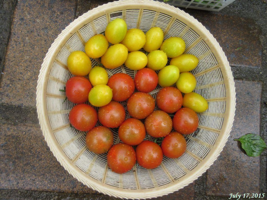 画像15(収穫したトマト)