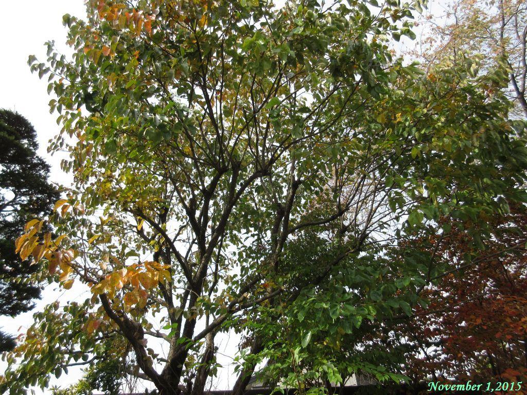 画像4(柿の木)