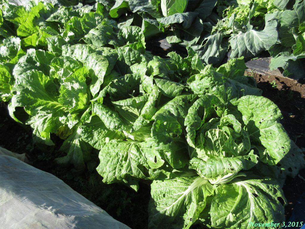 画像2(白菜の畝)