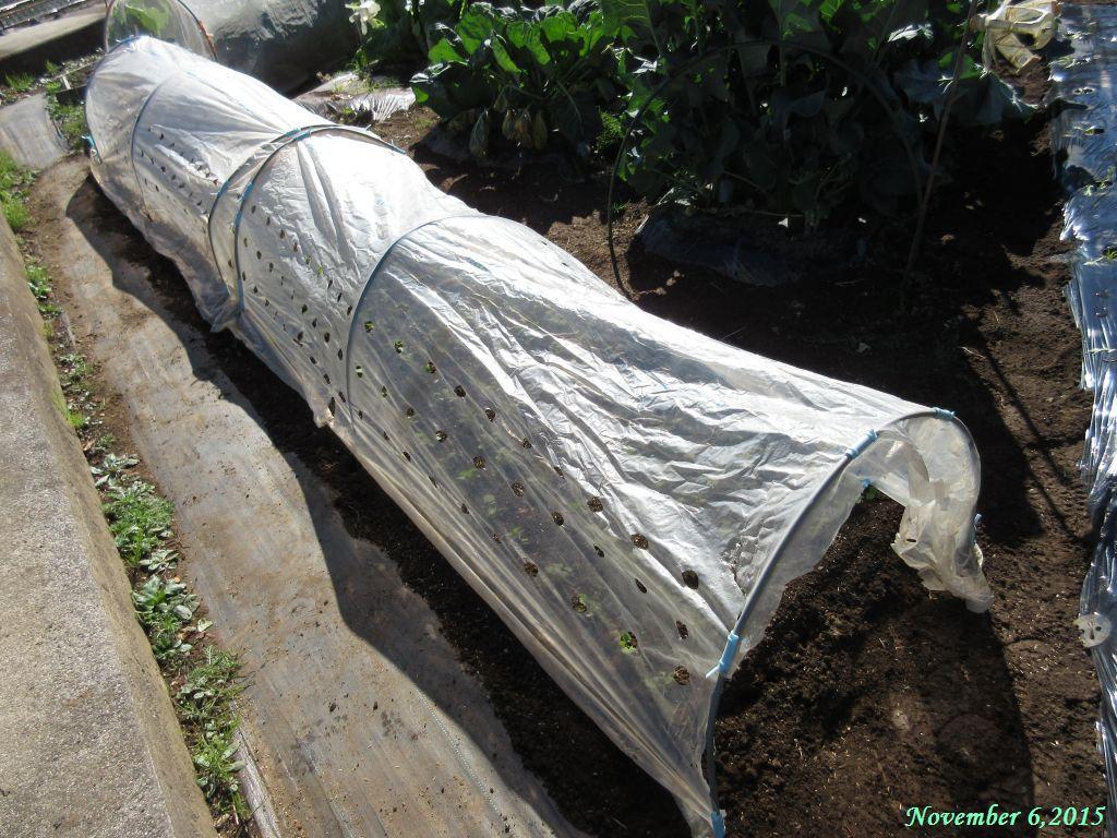 画像9(ほうれん草と冬菜のトンネル)