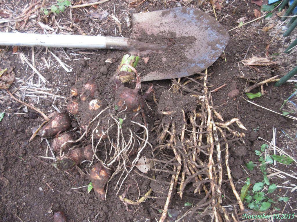 画像2(掘り出したサトイモ)
