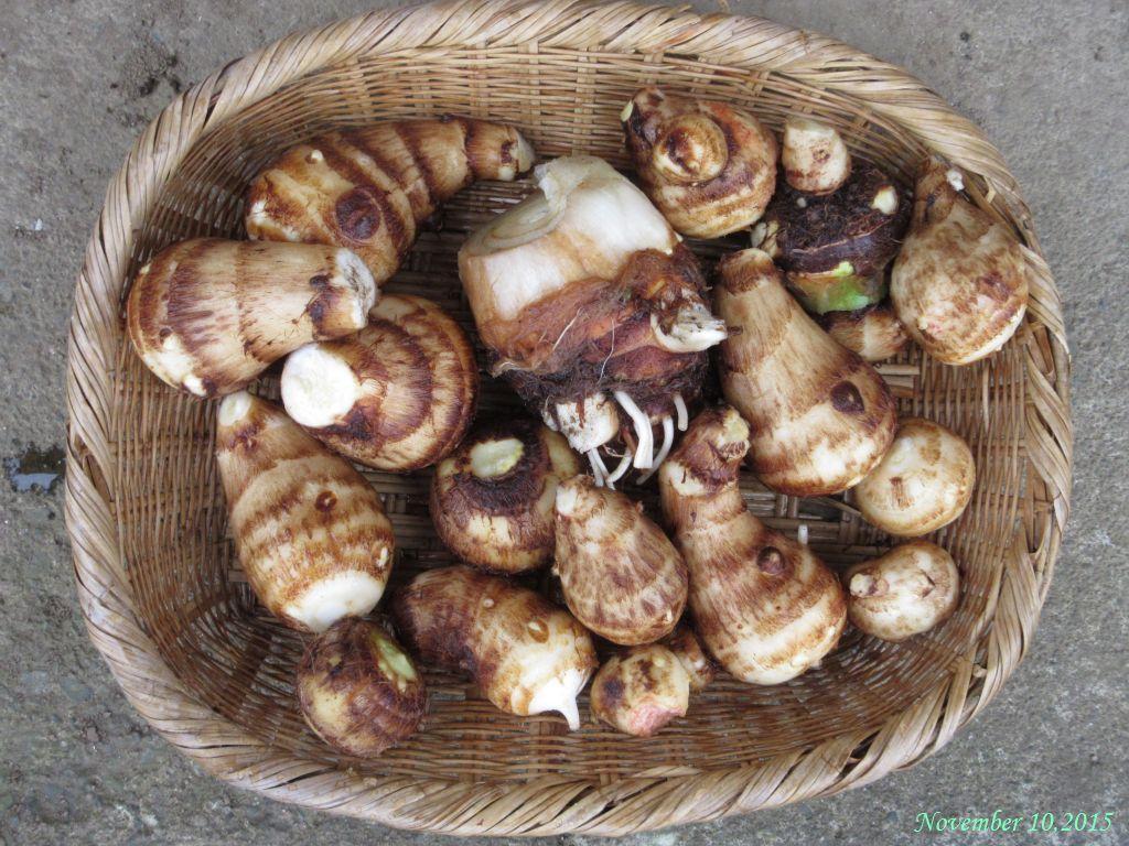 画像3(収穫したサトイモ)