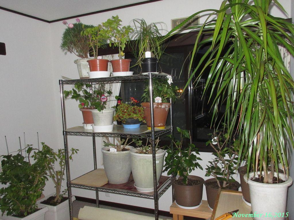 画像3(室内に入れた植木鉢)
