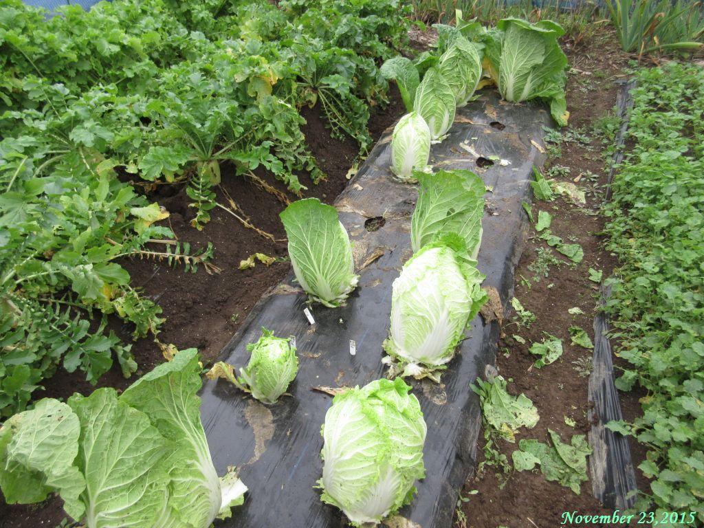 画像12(外葉を取った白菜)