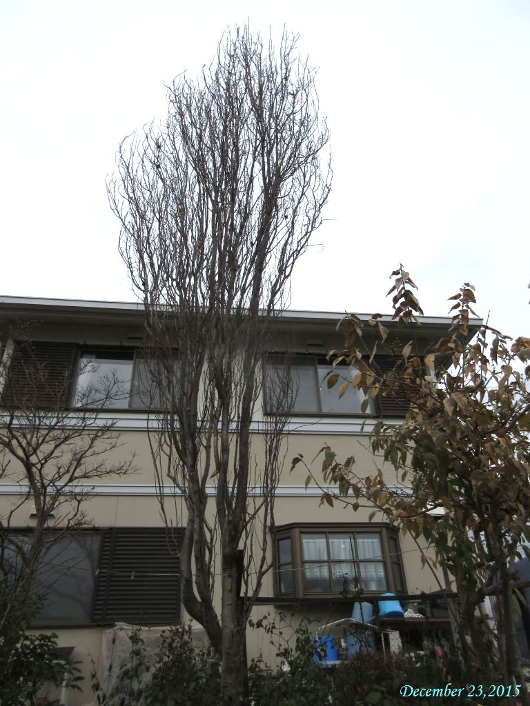 画像1(花桃の木)