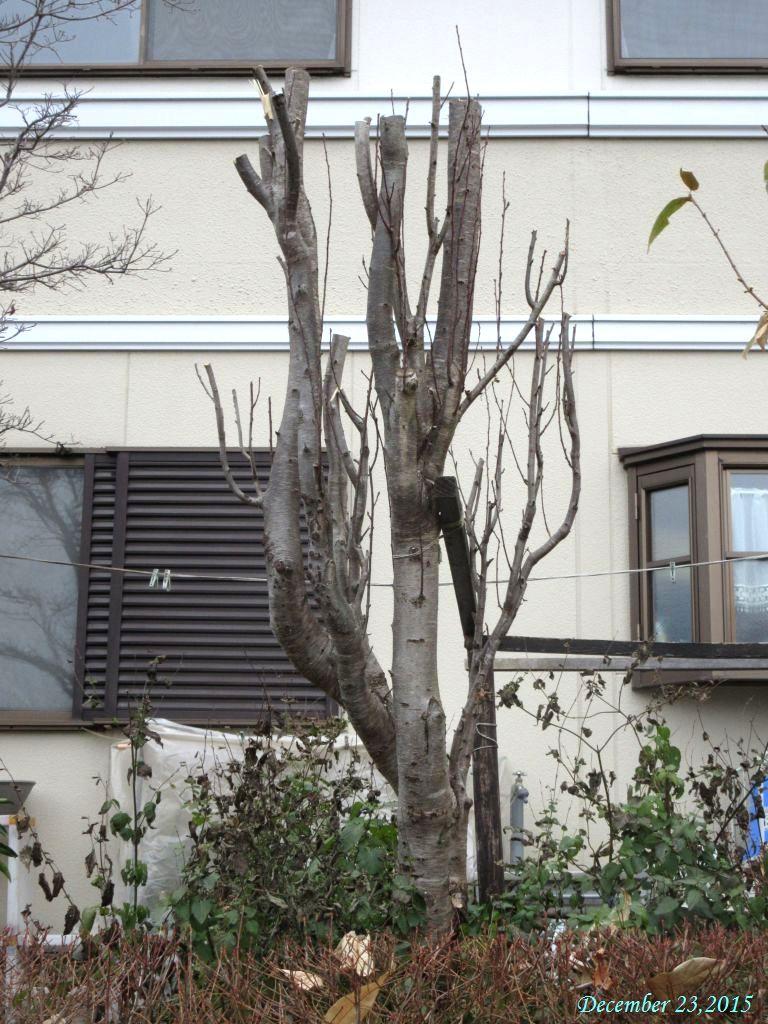 画像4(切ってしまった花桃の木)