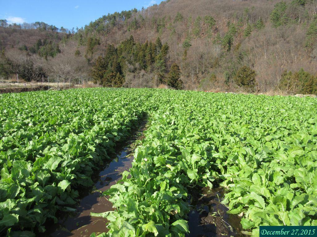 画像4(水掛菜の畑)