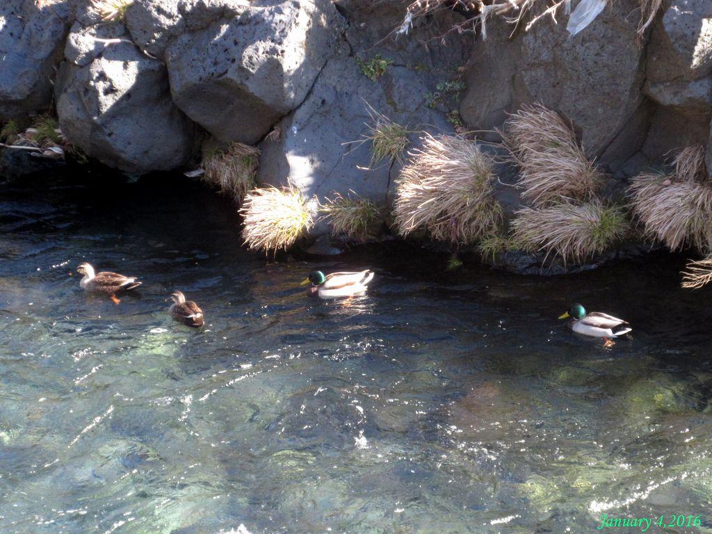 画像9(桂川のヨシガモ)