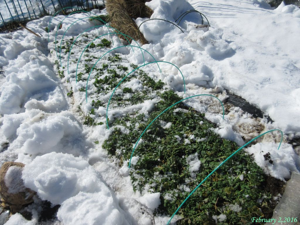 画像4(冬菜の畝)