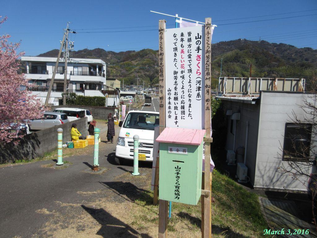 画像5(朝比奈川堤 河津ざくら)