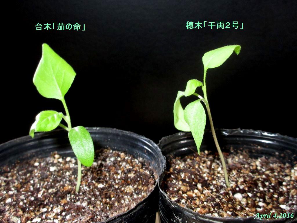 画像7(穂木「千両2号」と台木「茄の命」)