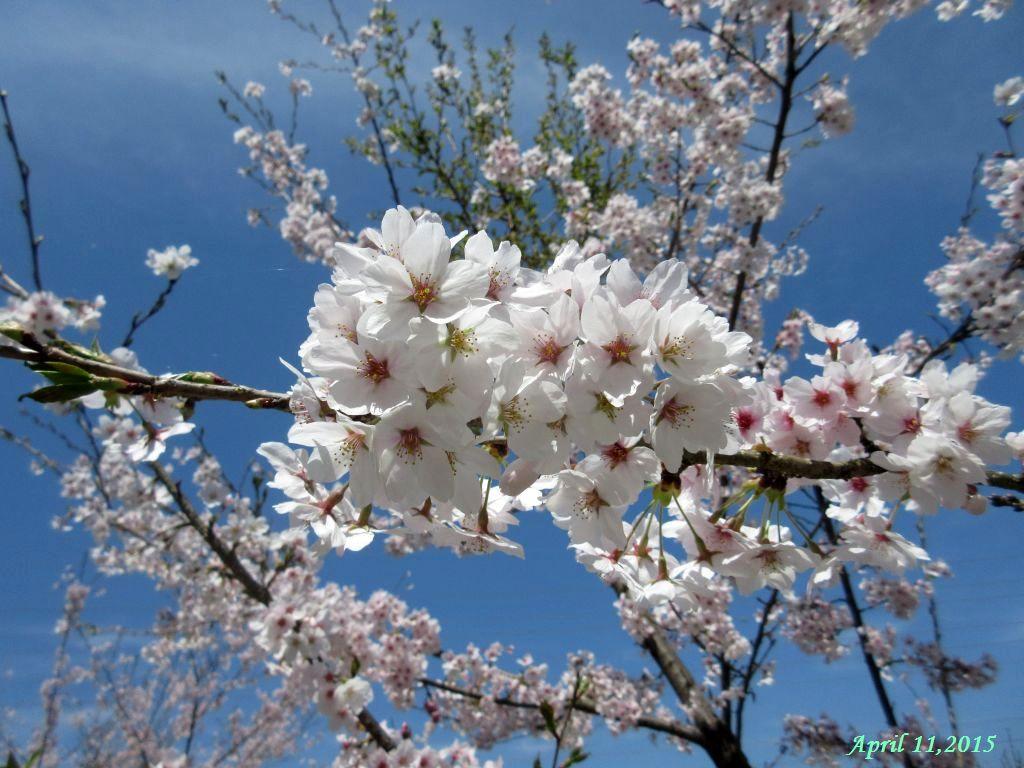 画像3(桜)