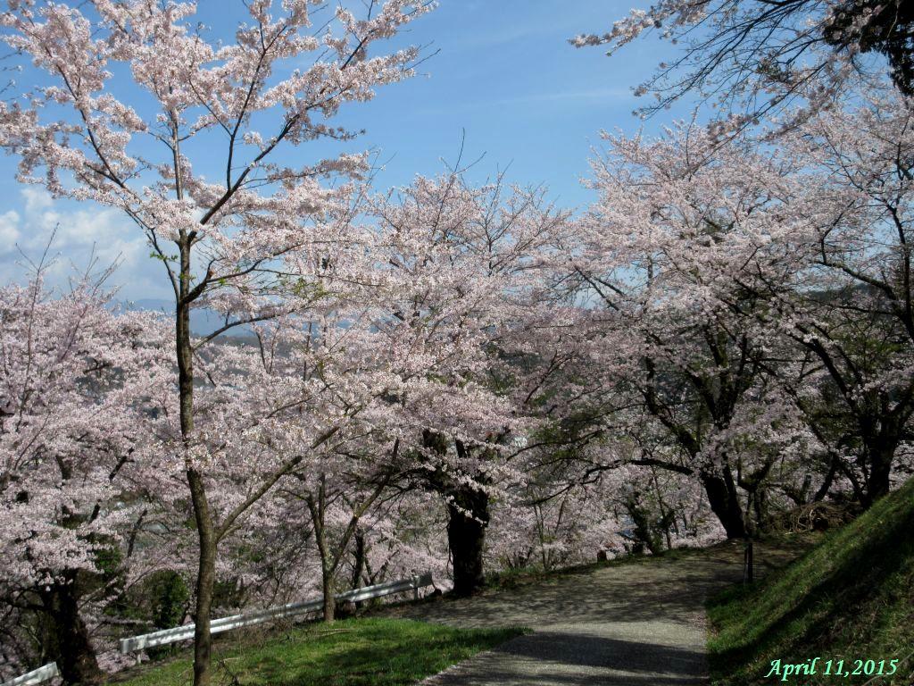 画像12(桜)