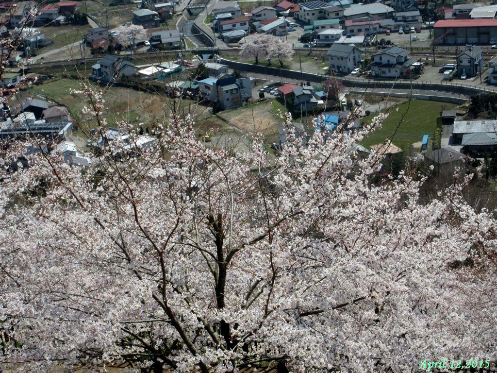 画像14(桜)