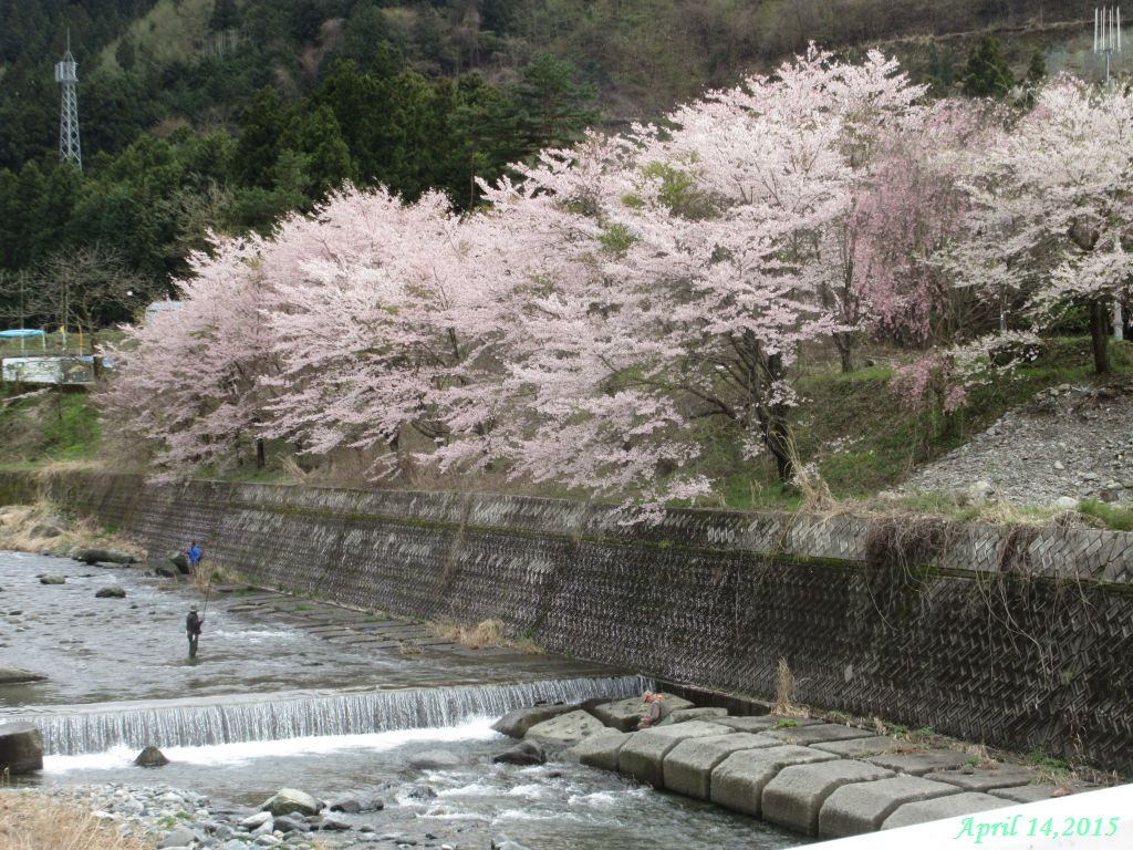 画像4(鹿留川岩下橋付近の桜)