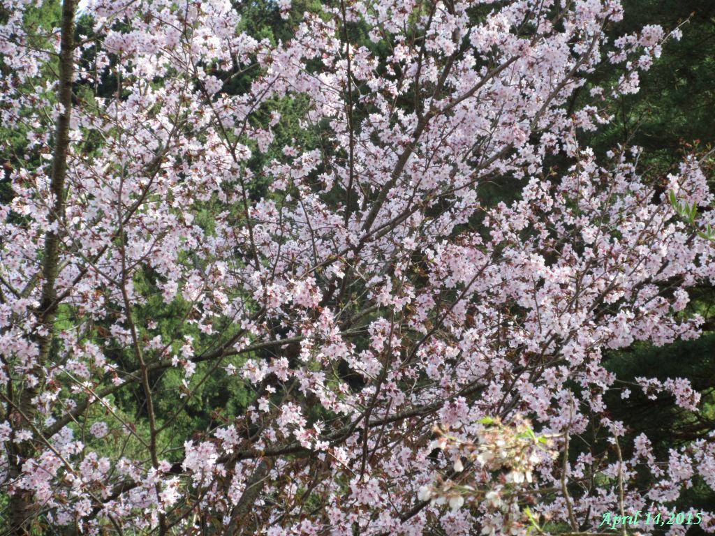 画像12(三つ峠さくら公園の桜)