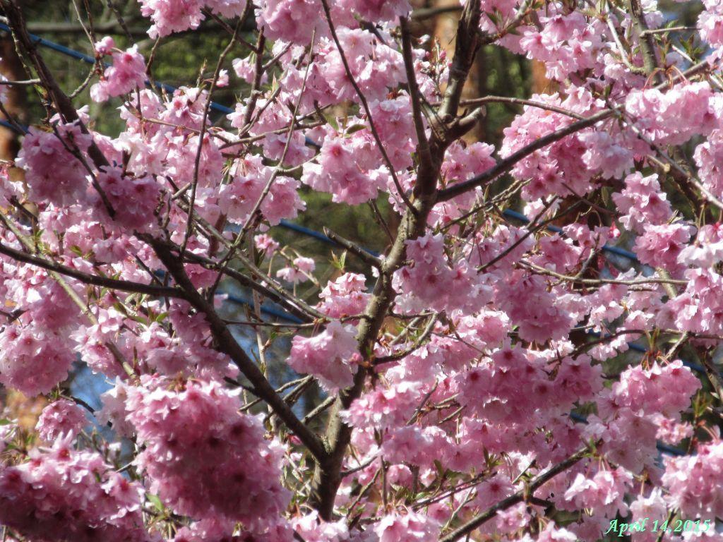 画像16(八重桜)