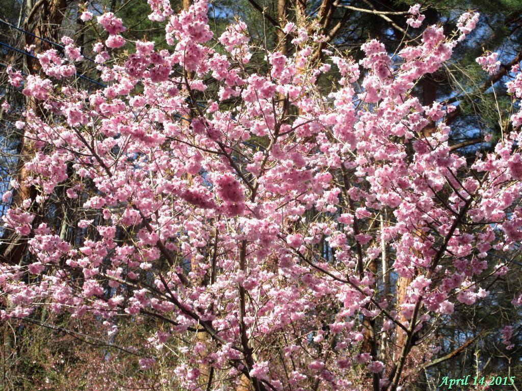 画像17(八重桜)