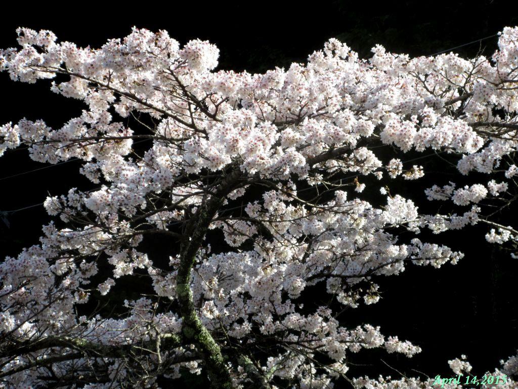 画像20(三つ峠グリーンロッジ付近の桜)