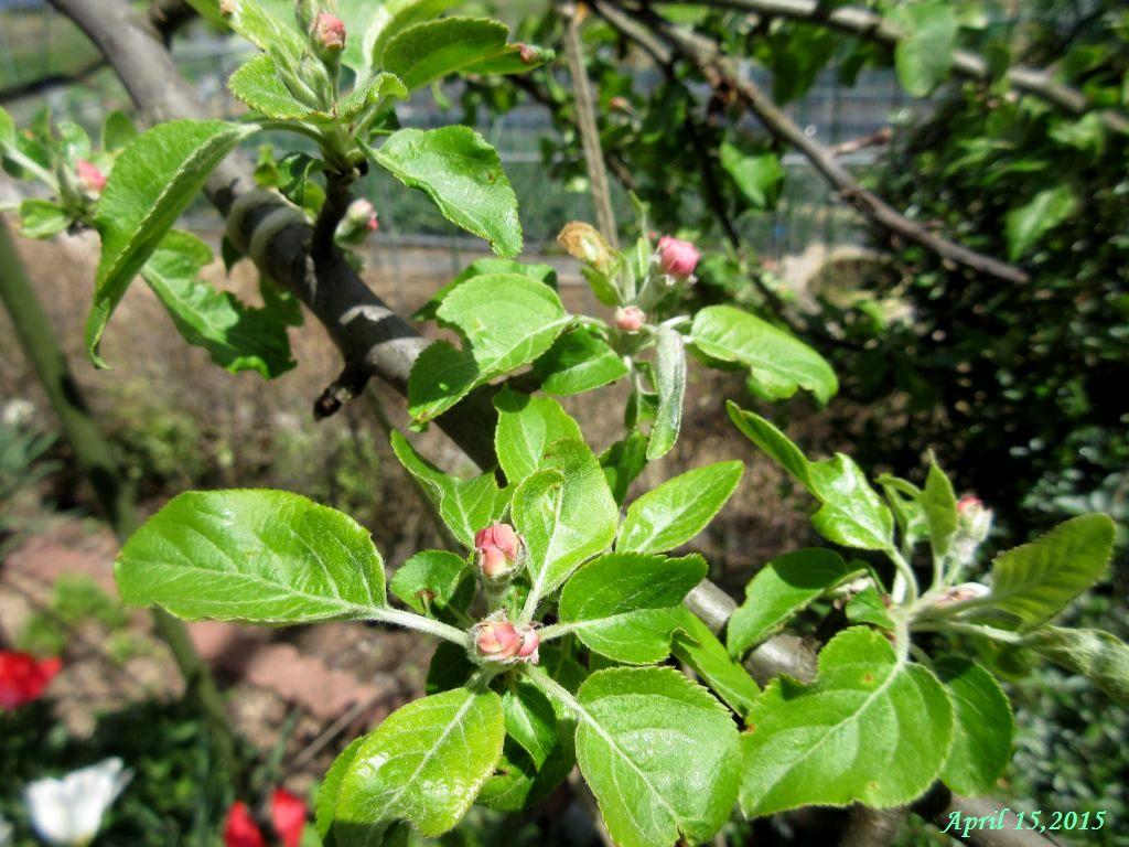 画像1(姫リンゴのつぼみ)
